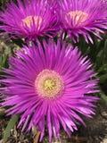 Fleur parfumée pourpre de ressort intense photo libre de droits