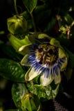 Fleur partiellement ouverte de passion photographie stock