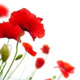 fleur, pavot d'isolement sur le fond blanc images stock