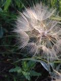Fleur pelucheuse Photos stock