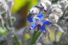 Fleur pelucheuse bleue de salvia, Espagne photo stock