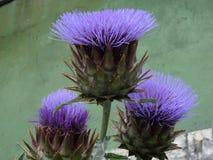 Fleur pelucheuse de lila Photos stock
