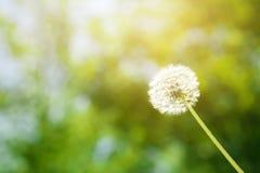 Fleur pelucheuse de pissenlit avec la lumière du soleil en été Photographie stock