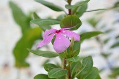 Fleur pendant la saison des pluies Images libres de droits