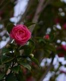 Fleur persane rose de renoncule image libre de droits