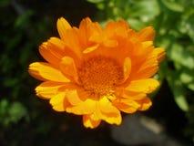 Fleur peu développée de souci sur le fond brouillé vert-foncé Photos libres de droits
