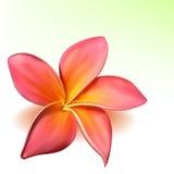 Fleur photo-realistic de plumeria de vecteur Photographie stock libre de droits