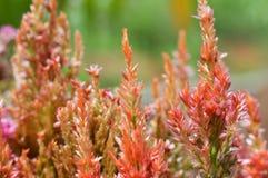 Fleur Plumed de cockscomb Image libre de droits
