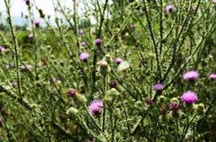 Fleur Plumeless de chardon Photos stock