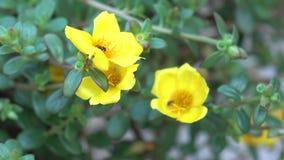 Fleur Portulaca banque de vidéos