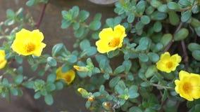 Fleur Portulaca beau banque de vidéos