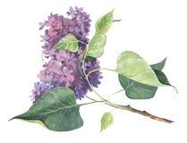Fleur pour aquarelle de lilas de ressort Image stock