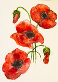 Fleur pour aquarelle rouge de pavot Photos stock
