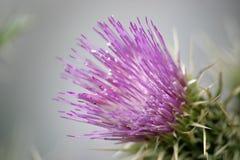 Fleur pourprée 1 de chardon Photo libre de droits