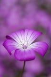 Fleur pourprée Photo stock