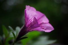 Fleur pourprée Image libre de droits