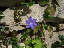 Fleur pourprée Image stock