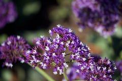Fleur pourprée Photographie stock