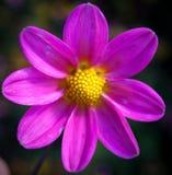 Fleur pourprée Photo libre de droits