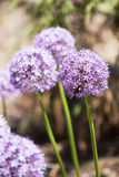 Fleur pourprée Photos stock