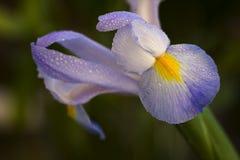 Fleur pourprée couverte de rosée d'iris Images stock
