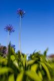 Fleur pourprée d'allium Photo libre de droits