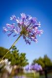 Fleur pourprée d'allium Image libre de droits