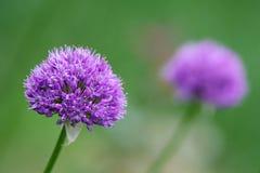 Fleur pourprée d'allium devant le fond vert Photos stock