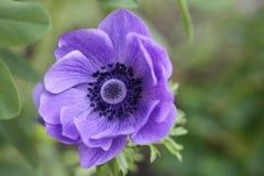 Fleur pourprée d'anémone Photographie stock libre de droits