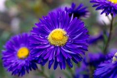 Fleur pourprée d'aster Photo stock