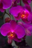 Fleur pourprée d'orchidée Image libre de droits