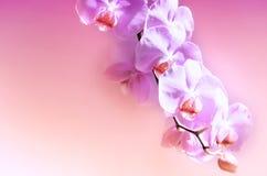 Fleur pourprée d'orchidée Fond, célébration Photographie stock