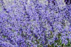 Fleur pourprée dans le jardin Photographie stock libre de droits