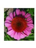 Fleur pourprée de cône photo stock