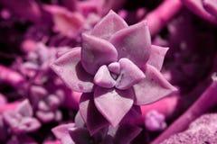 Fleur pourprée de cactus image libre de droits