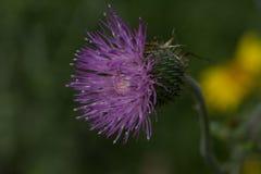 Fleur pourprée de chardon Photos stock
