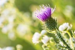 Fleur pourprée de chardon Photo libre de droits