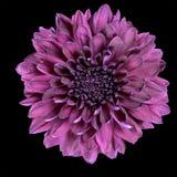 Fleur pourprée de chrysanthemum d'isolement sur le noir Photo stock