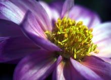 Fleur pourprée de dahlia Photos stock