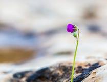 Fleur pourprée de floraison Photo libre de droits