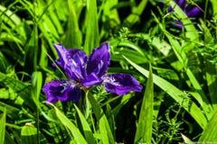 Fleur pourprée de floraison photo stock