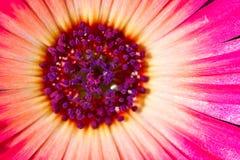 Fleur pourprée de glace au printemps Photo libre de droits