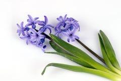 Fleur pourprée de jacinthe Images libres de droits