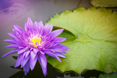 Fleur pourprée de lotus Photographie stock libre de droits
