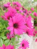 Fleur pourprée de marguerite Photographie stock libre de droits