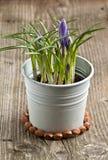 Fleur pourprée de safran Image stock