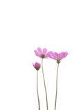 Fleur pourprée fraîche de marguerite Images libres de droits
