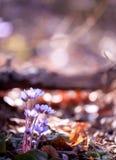 Fleur pourprée sauvage Images libres de droits