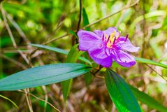 Fleur pourprée sauvage Photos stock