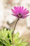 Fleur pourprée sauvage Photos libres de droits